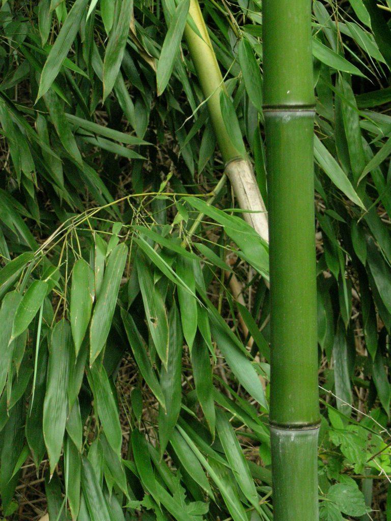 bambu - Celulose bioplástico