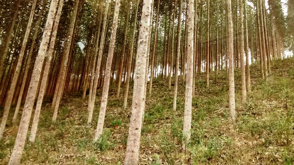 Eucaliptal - fontes de celulose
