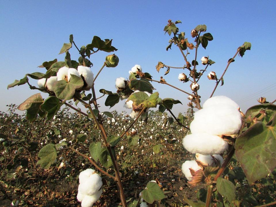 plantação de algodão - fontes de celulose