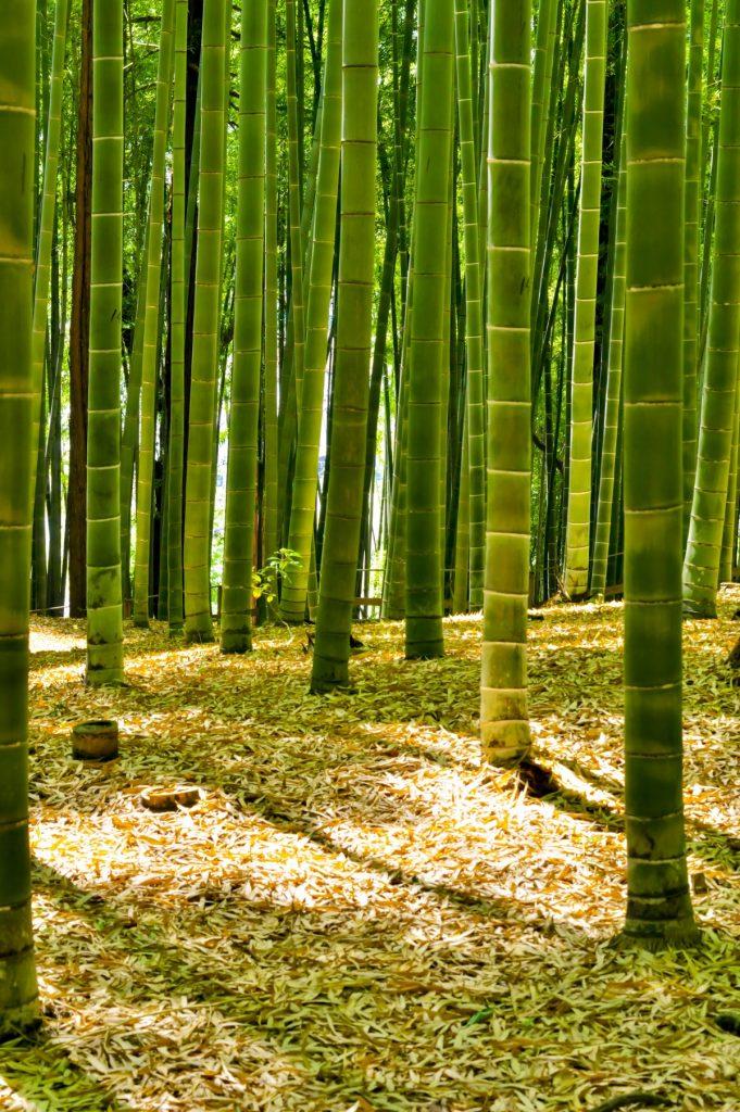 Floresta de bambu - fontes de celulose